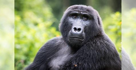 Seltener Berggorilla Rafiki (†) wird von Wilderer in Uganda getötet – muss 11 Jahre ins Gefängnis