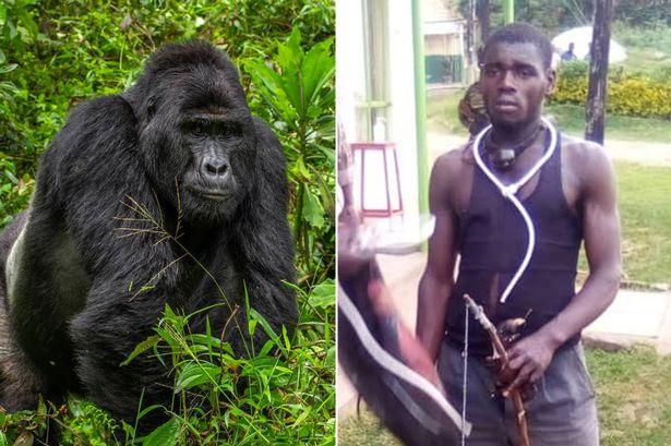 ART VOM AUSSTERBEN BEDROHT Elf Jahre Haft für Mord an Gorilla Rafiki
