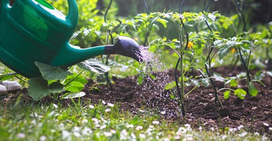 Wann ist die richtige Uhrzeit zum Pflanzengießen?