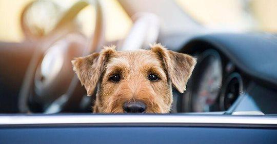 Frauchen war Shoppen: Hund stirbt in heißem Auto - Polizei kann zweiten Hund retten