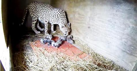 Zoo freut sich, als der schwangere Gepard zum zweiten Mal riesigen Wurf von 7 Jungen liefert