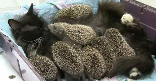 Acht Igel-Babys verlieren bei einem Unfall ihre Mutter – werden kurz danach von Katze Masya adoptiert
