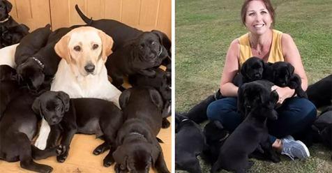 "Golden Labrador ""Lucy"" bringt 13 pechschwarze Welpen zur Welt"