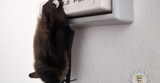 FLEDERMAUS IN POLIZEIREVIER Hier hat's sich Batman gemütlich gemacht ...