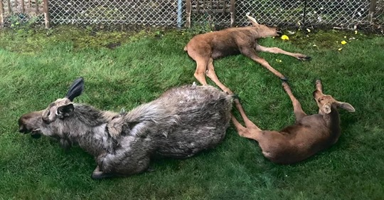 Mann erwacht und sieht, dass Mama Elch seinen Garten in ein Kinderzimmer für ihre Zwillingsbabys verwandelt hat