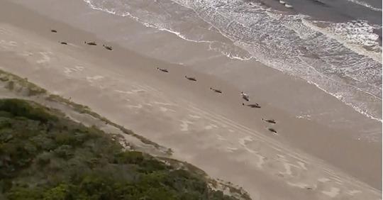 Steigende Zahlen: 380 Grindwale vor australischer Insel verendet