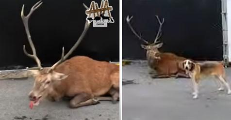 Frankreich: Hirsch wird stundenlang von Jägern aus Spaß gejagt, dieser flüchtet und bricht zusammen – Anwohner filmen