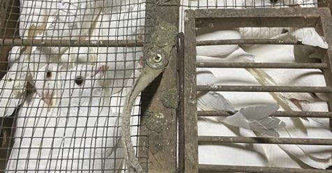 ESSENER POLIZEI STOPPT RUMÄNISCHEN LIEFERWAGEN 70 Tauben in drei Käfige gepfercht