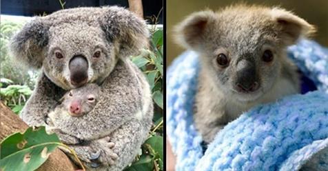 Australien feiert erste Geburt von Koala Baby, nachdem Buschbrände ihre Heimat zerstörten