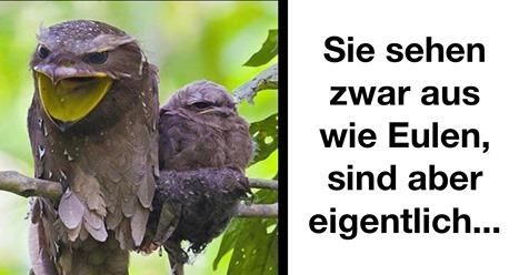 Eulenschwalm: Unbekannte Vogelart wird oft für Eule gehalten