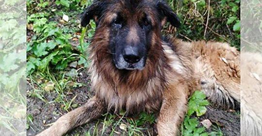 Kranker  Schäferhund von Haltern betäubt & vergraben: Hund gräbt sich selbst aus Grab aus