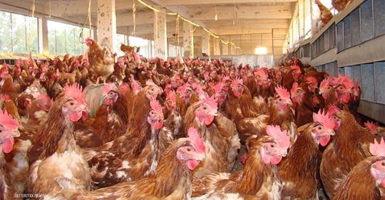 Einbrecher stellten offenbar Lüftung im Stall aus: 23.000 Hühner erstickt