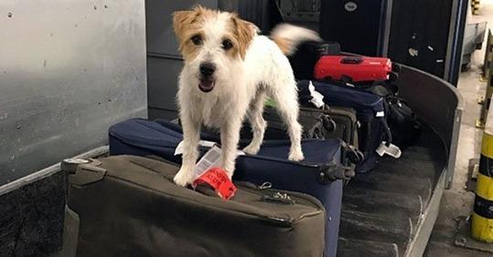 """Spürnase """"Pitt"""" erschnüffelt Heroin am Flughafen"""