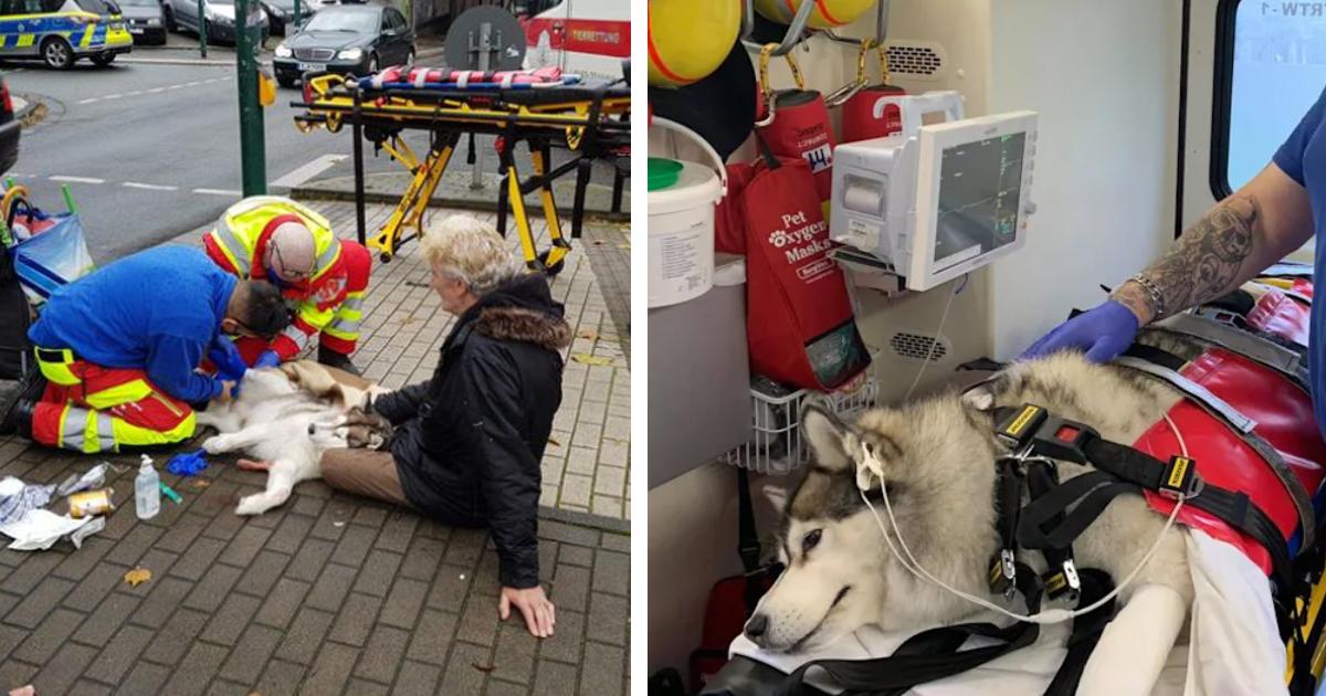 Essen: Husky Snow (10) wird von Auto angefahren und bricht sich Vorderbeine – Fahrer fährt einfach weiter