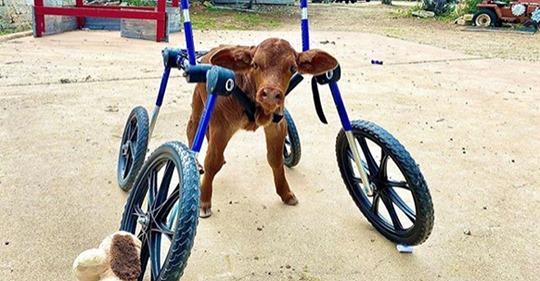 Niedliche Aufnahmen: Kalb mit Behinderung bekommt Spezial Rollstuhl