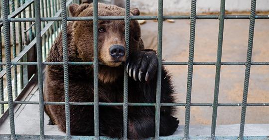 Wegen Modernisierung: Zoo in Kopenhagen lässt Wölfe und Braunbär töten – kein Platz für die Tiere