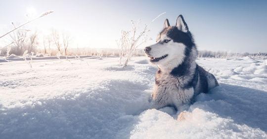 Todkranke Schlittenhündin darf noch ein letztes Mal in den Schnee