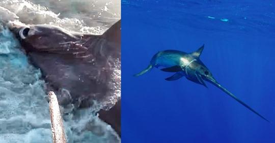 Hai vs. Schwertfisch: Seltener Strandfund erzählt von einem Drama in der Tiefe