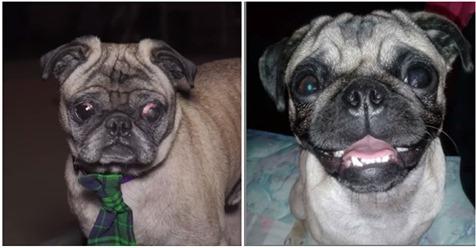 """Mops """"Chato"""" war sechs Jahre verschwunden: Kurz vor Feiertag taucht Hund wieder auf"""