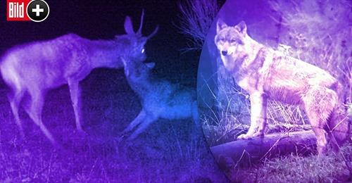 VON VERSTECKTER WILDKAMERA ERWISCHT Seltenes Foto! Wolf attackiert jungen Hirsch ... später finden Jäger nur noch sein Skelett