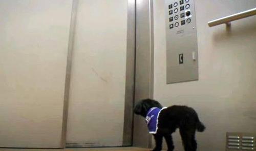 Toy-Pudel fährt im Pflegeheim Fahrstuhl mit berührender Mission