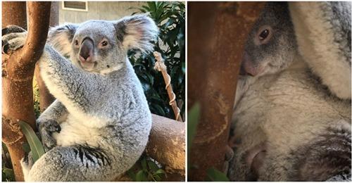 Zoo in den USA heißt Koala-Baby auf der Welt willkommen – erster Nachwuchs seit 15 Jahren