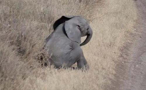 Entzückendes Video von einem Elefantenbaby, das einen Wutanfall hat – seine Mutter reagiert hervorragend