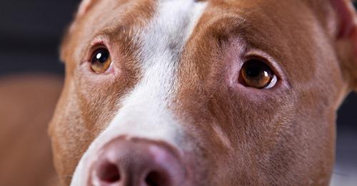 Heldenhafte Pitbulls verbrennen in Feuer: Hunde retteten 10-jähriges Kind aus Flammen