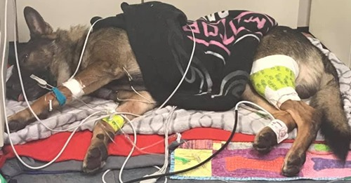 Hund überlebt Schießerei und wird zum Polizeihelden – jetzt wird er im Netz gefeiert