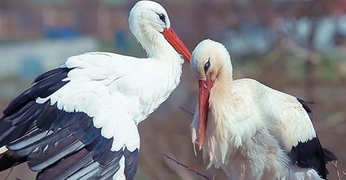 Treuer Storch fliegt jedes Jahr 14.000 Kilometer zurück zu seiner verletzten Liebsten