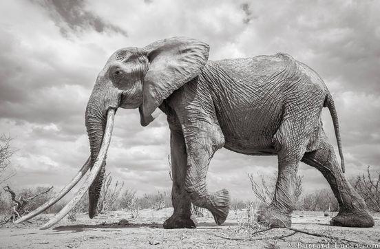 Tusker: Will Burrard Lucas macht Fotos von seltenem Elefant