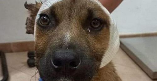 Kinder (9, 10) verstümmeln heimatlosen Hund, schneiden ihm Ohren ab – unbeteiligter Junge rettet ihn