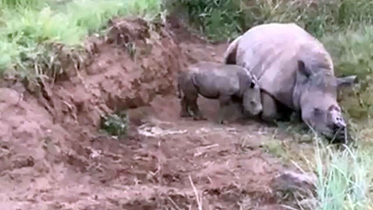 Nashorn Baby Lottie versucht, tote Mutter aufzuwecken
