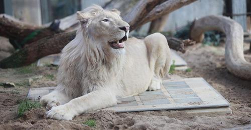 Weißer Löwe  Mojo  aus Sachsen Anhalt offenbar spurlos verschwunden