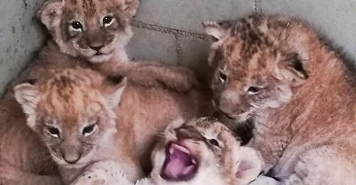 Leipziger Zoo jubelt über neuen Löwen Nachwuchs