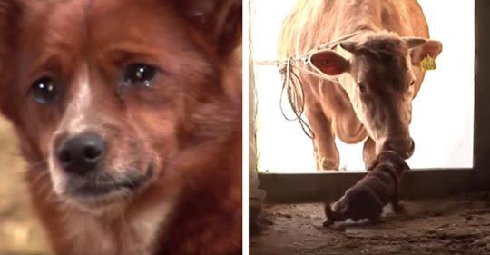 Unglücklicher Hund weint, als er von der Kuh, die ihn aufgezogen hat, getrennt wird, aber es kommt zu einem freudigen Wiedersehen