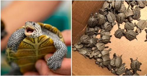 Retter bauen spezielles Netz, um Hunderte von Babyschildkröten aus Kanalisation zu retten