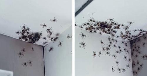 Mutter findet Nest von Riesenkrabbenspinne in Kinderzimmer