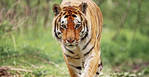 Wilderer nach 20 Jahren gefasst – er soll 70 Tiger getötet haben
