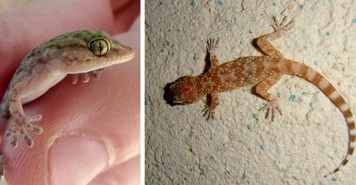 Verjagen Sie die Geckos nicht: Sie sind nützliche Reptilien, die bis zu 200 Stechmücken fangen können