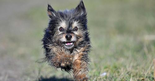 Familienhund beschützt zehnjähriges Mädchen vor Kojoten-Angriff