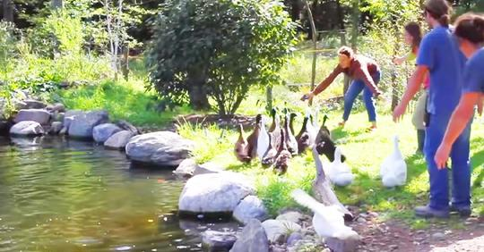 Vernachlässigte Enten, die nie Wasser gesehen haben, gehen zum ersten Mal schwimmen