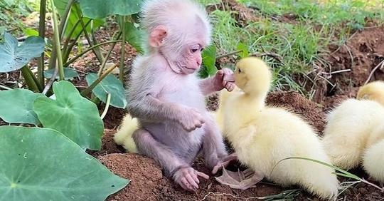 Ein bezauberndes Video zeigt ein Affenbaby, das sich um Entenküken kümmert, als wären sie seine Familie