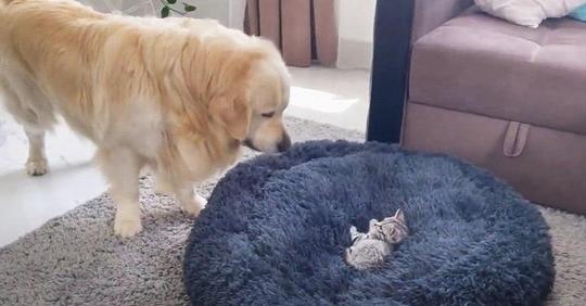 Golden Retriever kämpft urkomisch und liebenswert mit einem Kätzchen in seinem Hundebett