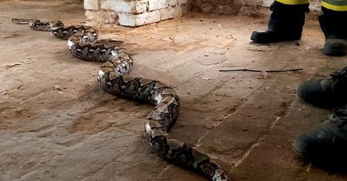 VOR SIEBEN WOCHEN WAR ER VERSCHWUNDEN 3 Meter Python in Keller entdeckt