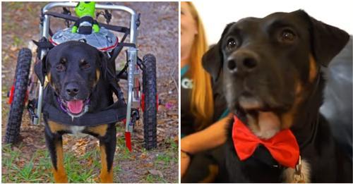 """""""Er ist ein Wunder"""" – Hund, von dem man dachte, er sei dauerhaft gelähmt, lernt wieder zu laufen"""