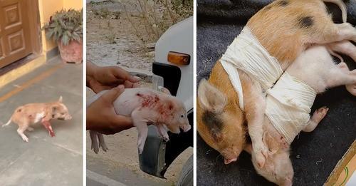 Tierschützer retten schwer verletzte Ferkel, hatten große Angst vor Menschen – erlitten unzählige Stichwunden