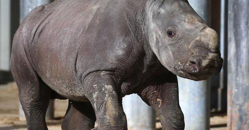 Mutter verweigert Milch: Augsburger Zoo lässt Nashorn Baby einschläfern
