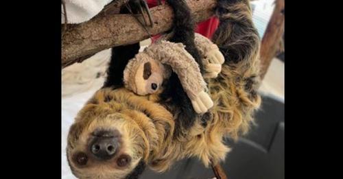 Zoo in Trauer: Wollte erstes Faultier Baby in seiner Geschichte begrüßen – Mutter bringt Totgeburt zur Welt